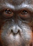 Orangutan Portrait. Royalty Free Stock Image