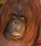 Orangutan Portrait. A close-up portrait shot of a fine female Orangutan Stock Photos