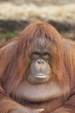 Orangutan Portrait. This photograph of an endangered Orangutan was captured at a UK zoo Royalty Free Stock Images