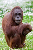 Orangutan portrait. Portrait of an Orangutan at the zoo stock photography