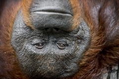 Orangutan Portrait. A close up portrait of the orangutan. Close up at a short distance. Bornean orangutan (Pongo pygmaeus) in the wild nature. Island Borneo Stock Photo