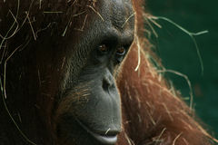 Orangutan Portrait. Close up portrait of an orangutan looking onto the distance and covered in dry grass Royalty Free Stock Photos