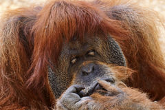 Orangutan portrait Royalty Free Stock Photos