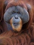 Orangutan portrait Royalty Free Stock Photos