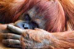 Orangutan Portrait Royalty Free Stock Photography