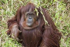 Orangutan portrait on the grass background Stock Image