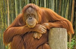 Orangutan portrait. A portrait of an orangutan with a mildly amused expression Royalty Free Stock Image