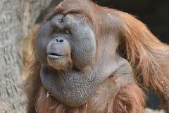 Orangutan Portrait Stock Image