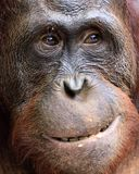 Orangutan Portrait. A portrait of the young orangutan on a nickname Ben. Close up at a short distance. Bornean orangutan (Pongo py. Gmaeus) in the wild nature Royalty Free Stock Photography
