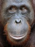 Orangutan Portrait. A portrait of the young orangutan on a nickname Ben. Close up at a short distance. Bornean orangutan (Pongo py. Gmaeus) in the wild nature Royalty Free Stock Photo