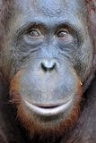 Orangutan Portrait. A portrait of the young orangutan on a nickname Ben. Close up at a short distance. Bornean orangutan (Pongo py Royalty Free Stock Image