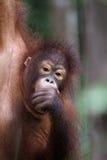 Orangutan Portrait. A young Orangutan hangs by one arm from a tree in Sabah, Malysian Borneo Royalty Free Stock Photos