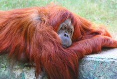 Orangutan portret Obraz Royalty Free
