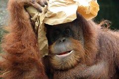 orangutan portret Fotografia Stock