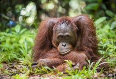 Orangutan portret Bornean orangutan w dzikiej naturze (Pongo pygmaeus) Zdjęcia Stock