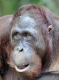 Orangutan portret Portret młody orangutan na przezwisku Ben Zamyka up przy krótką odległością Bornean orangutan (Pongo py Zdjęcia Stock