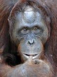 Orangutan portret Portret młody orangutan na przezwisku Ben Zamyka up przy krótką odległością Bornean orangutan (Pongo py Fotografia Stock