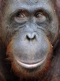 Orangutan portret Portret młody orangutan na przezwisku Ben Zamyka up przy krótką odległością Bornean orangutan (Pongo py Zdjęcie Royalty Free