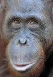 Orangutan portret Portret młody orangutan na przezwisku Ben Zamyka up przy krótką odległością Bornean orangutan (Pongo py Obrazy Stock