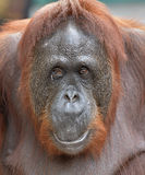 Orangutan portret Zakończenie w górę portreta orangutan Bornean orangutan (Pongo pygmaeus) Obraz Royalty Free