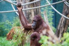 Orangutan. An orangutan posing in a playground Stock Photography