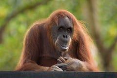 Orangutan postrait Stock Photos