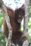 orangutan potomstwa Obraz Stock