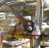 Orangutan primacy mammal anthropoid the tropics. Hominid Stock Photo