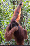 Orangutan. In rain forest / indonesia Royalty Free Stock Images