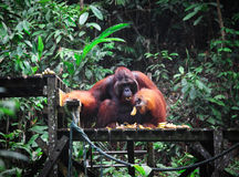Orangutan in rainforest Royalty Free Stock Photography