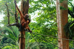 Orangutan in rehabilitation. Young orangutan siting on rope in rehabilitation Royalty Free Stock Image