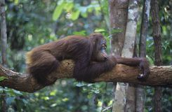 Orangutan resting on branch in forest Stock Image