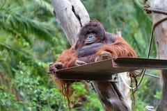 Orangutan. Resting orangutan in zoo, Gran Canaria, Spain Stock Image