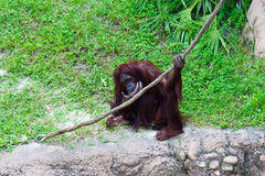 Orangutan with rope. Royalty Free Stock Photos