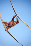 Orangutan on the ropes Stock Image