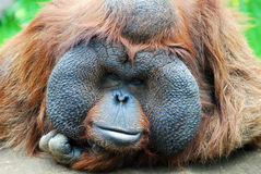 Orangutan's gaze. Orangutan - monkey with greater cheeks Stock Photos