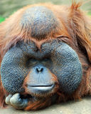 Orangutan's gaze. Orangutan - monkey with greater cheeks Royalty Free Stock Image