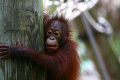 Orangutans offspring. Baby near tree Royalty Free Stock Image