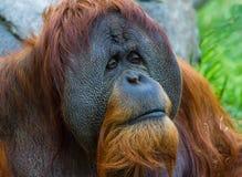 Orangutan. An orangutan with a sad look royalty free stock images