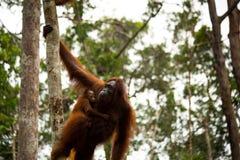 Orangutan selvaggio nella foresta del Borneo Fotografia Stock Libera da Diritti