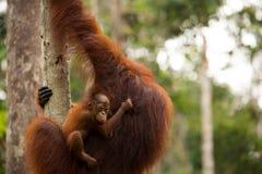 Orangutan selvaggio nella foresta del Borneo Immagine Stock