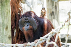 Orangutan Side Glance Royalty Free Stock Images