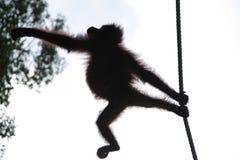 Orangutan silhouette Royalty Free Stock Image
