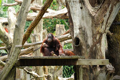 Orangutan in Singapore Zoo Royalty Free Stock Photography