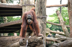 Orangutan in Singapore Zoo Stock Photography