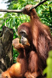 Orangutan in Singapore Zoo stock photography