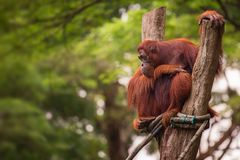 Orangutan in the Singapore Zoo Royalty Free Stock Photo