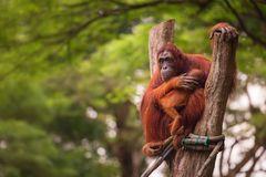 Orangutan in the Singapore Zoo Stock Images