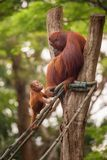 Orangutan in the Singapore Zoo Stock Photography