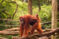 Orangutan in the Singapore Zoo Stock Photo
